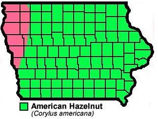 American Hazelnut Corylus Americana