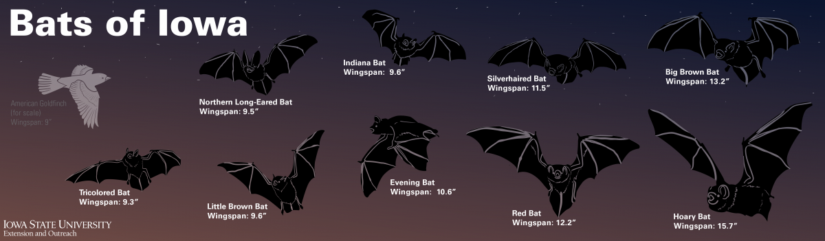 Bats of Iowa graphic