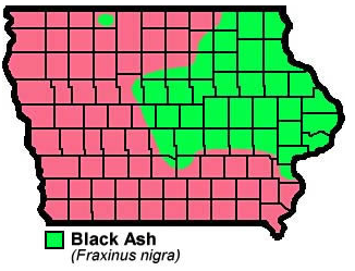 Black Ash Fraxinus nigra
