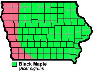 Black Maple Acer nigrum