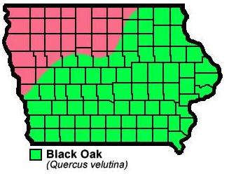 Black Oak Quercusvelutina