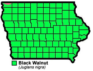 Black Walnut Juglans nigra