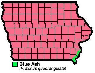 Blue Ash Fraxinusquadrangulata