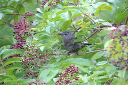 Bird in elderberry bush