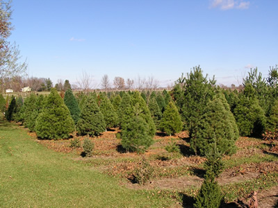 Iowa Christmas Tree Plantation