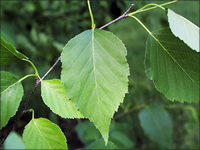 Double toothed leaves