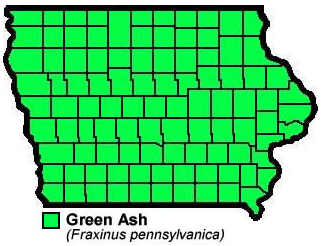 Green Ash Fraxinuspennsylvanica
