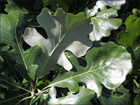 Lobed leaves