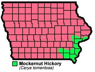 Mockernut Hickory Caryatomentosa