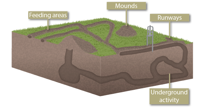 graphic depicting underground mole activity, feeding tunnels, mounds, runways, and trap placement