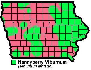 Nannyberry Viburnum Vinburnum Lentago