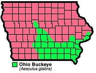 Ohio Buckeye Aesculusglabra