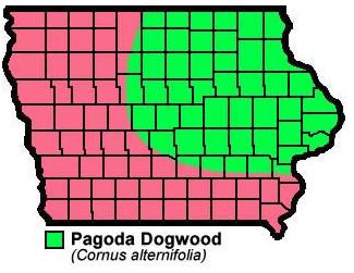 Pagoda Dogwood Cornus alternifolia