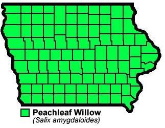 Peachleaf Williow Salix Amygdaloides