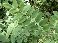 Pinnately compounded leaf
