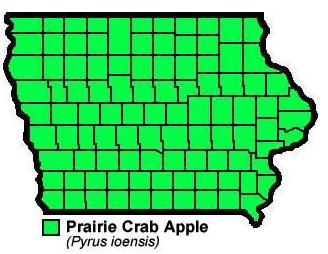 Prairie Crab Apple Pyrusioensis