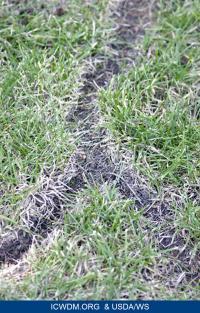 Prairie vole tracks
