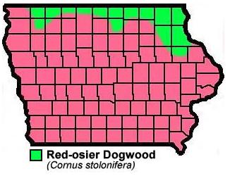 Red Osier Dogwood Cornus Stolonifera