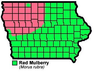 Red Mulberry Morusrubra