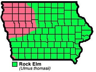 Rock Elm Ulmus Thomasii