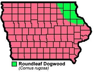 Roundleaf Dogwood Cornus Rugosa