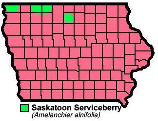 Saskatoon Serviceberry Amelanchier Alnifolia