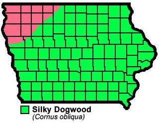 Silky Dogwood Cornus Obliqua