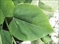 Smooth leaves