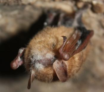 White nose syndrome documented