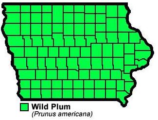 Wild Plum Prunus Americana