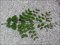 Doubly pinnately compound leaves close up