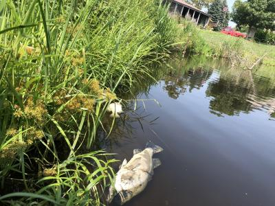 edge of pond with two dead fish floating at the surface of the water