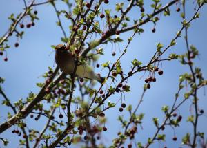 Cedar waxwing eating a berry in a tree