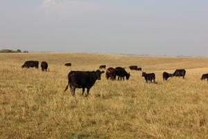 Cattle in a rotationally grazed pasture.