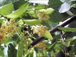 up-close view of white american basswood flowers