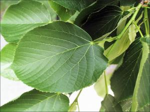 closeup view of leaves of an American Basswood tree