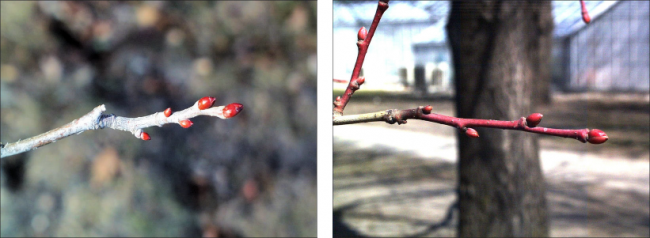 two variations of American basswood twigs - gray bark with red buds and reddish brown bark with red buds