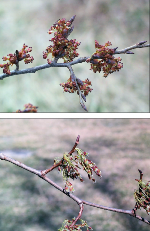 two examples of American elm flowers which are green and red