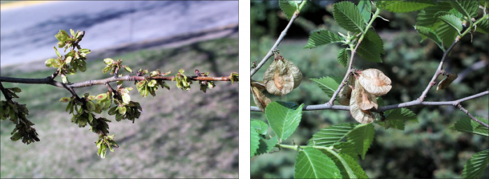 Side by side views of American Elm fruit, small green leaflets with reddish centers when young and brown dried leaflets when aged