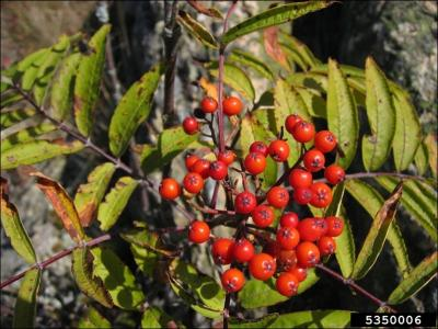Red, berry-like American ash fruit