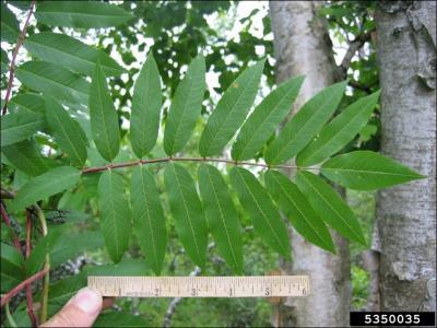 American ash leaves