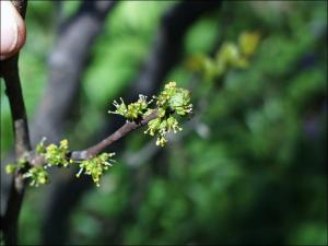 prickly ash flowers
