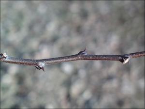 prickly ash twig