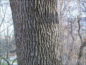 white ash trunk showing bark