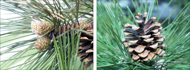 Side by side view of young Austrian pine fruit and mature cone