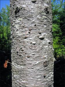 balsam fir bark