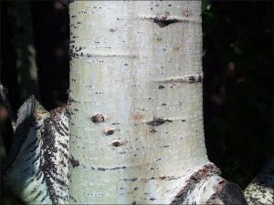 bigtooth aspen bark