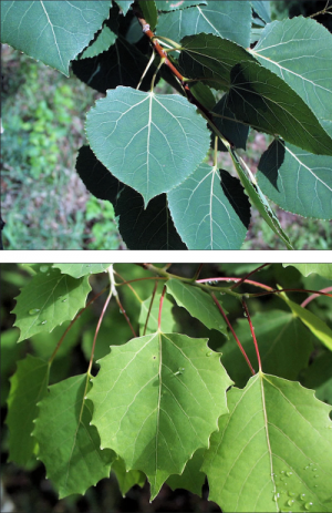 comparison of bigtooth aspen leaves showing variation in bluegreen versus lime green color and differences in tooth depth