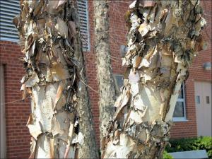 brownish white, peeling, paper-like river birch bark on two trunks