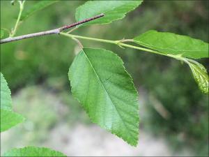 river birch leaves